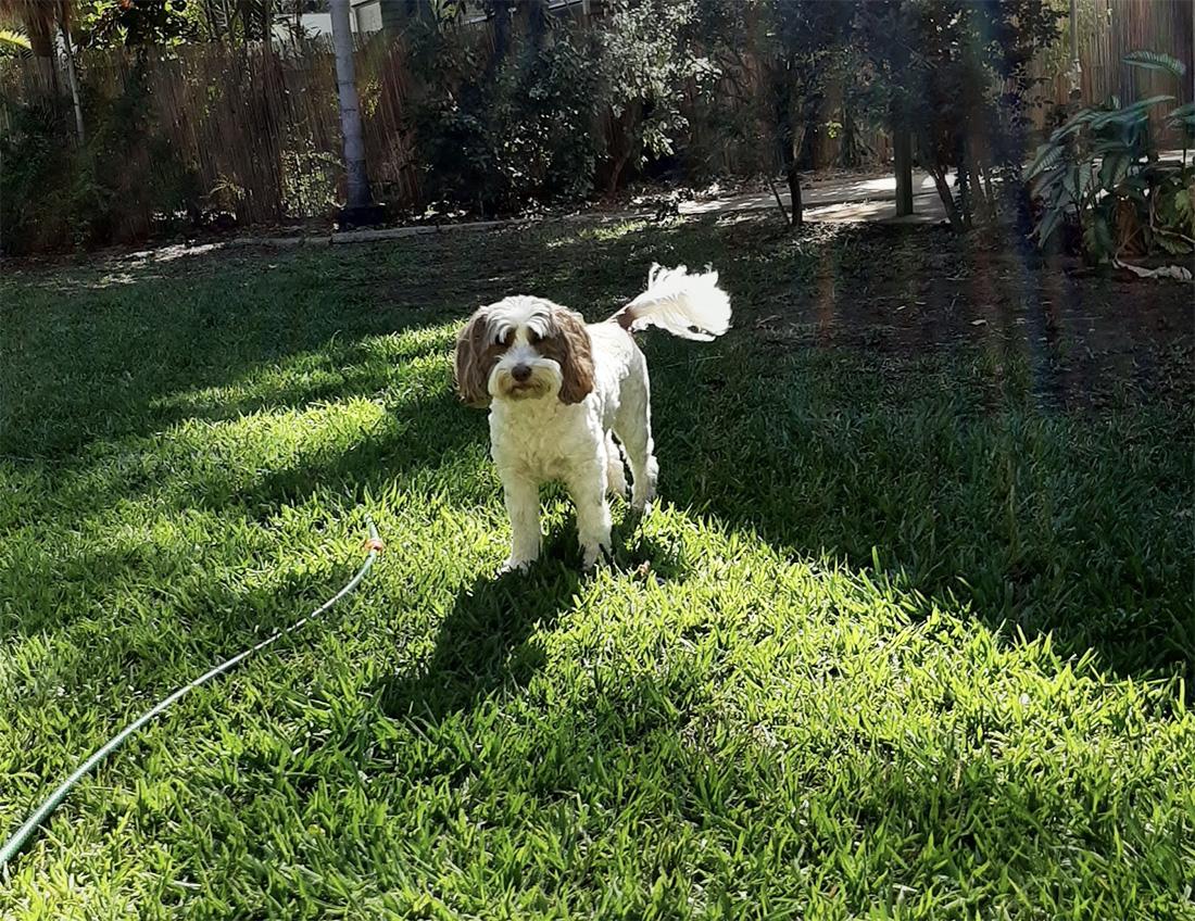 Australian Labradoodle pup zonder wachtlijst